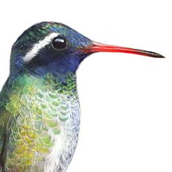 White-eared Hummingbird Head Illustration