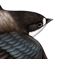 White-throated Needletail Head Illustration