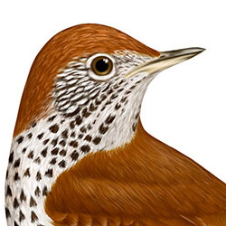 Wood Thrush Head Illustration