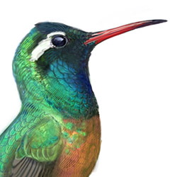 Xantus's Hummingbird Head Illustration.jpg