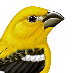 Yellow Grosbeak Head Illustration