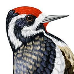 Yellow-bellied Sapsucker Head Illustration