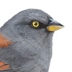 Yellow-eyed Junco Head Illustration.jpg