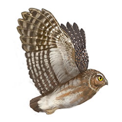 Elf Owl Flight Illustration.jpg
