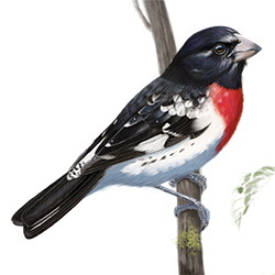 Rose-breasted Grosbeak Body Illustration