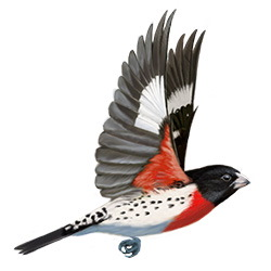 Rose-breasted Grosbeak Flight Illustration