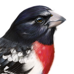 Rose-breasted Grosbeak Head Illustration