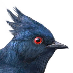 Phainopepla Head Illustration.jpg