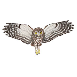 Ferruginous Pygmy-Owl Flight Illustration.jpg