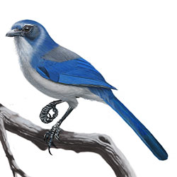 Woodhouse's Scrub-Jay Body Illustration.jpg