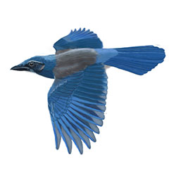 Woodhouse's Scrub-Jay Flight Illustration.jpg
