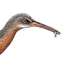 Ridgway's Rail Head Illustration.jpg