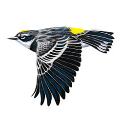 Yellow-rumped (Myrtle) Warbler Flight Illustration.jpg