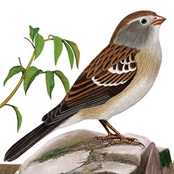 Field Sparrow Body Illustration