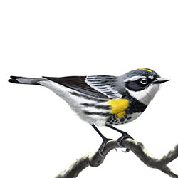 Yellow-rumped (Myrtle) Warbler Body Illustration.jpg