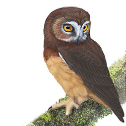 Unspotted Saw-whet Owl Body Illustration.jpg