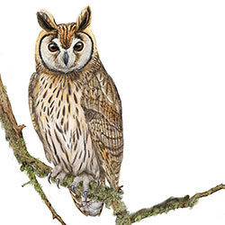 Striped Owl Body Illustration.jpg