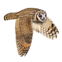Striped Owl Flight Illustration.jpg