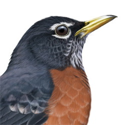 American Robin Head Illustration