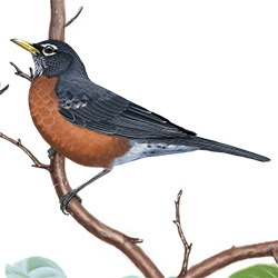 American Robin Body Illustration