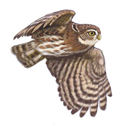 Colima Pygmy-Owl Flight Illustration.jpg
