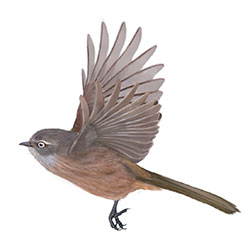 Wrentit Flight Illustration.jpg