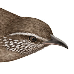 Sinaloa Wren Head Illustration.jpg