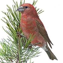 Cassia Crossbill Body Illustration.jpg