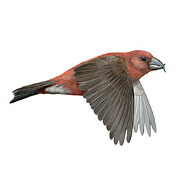 Cassia Crossbill Flight Illustration.jpg