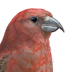 Cassia Crossbill Head Illustration.jpg