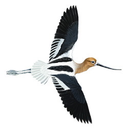 American Avocet Flight Illustration
