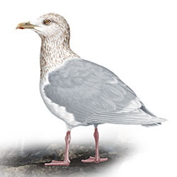 Iceland Gull Body Illustration