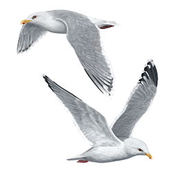 Iceland Gull Flight Illustration