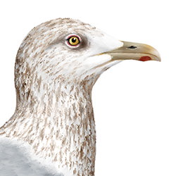 Iceland Gull Head Illustration