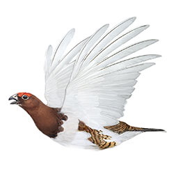 Willow Ptarmigan Flight Illustration.jpg
