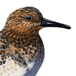 Sanderling Head Illustration