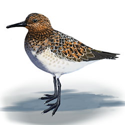 Sanderling Body Illustration