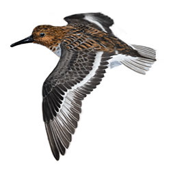 Sanderling Flight Illustration
