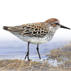 Western Sandpiper Body Illustration