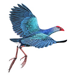 Purple Swamphen Flight Illustration.jpg