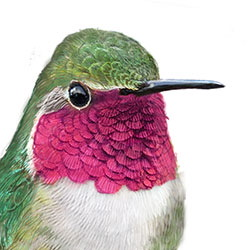 Broad-tailed Hummingbird Head Illustration.jpg