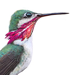 Calliope Hummingbird Head Illustration