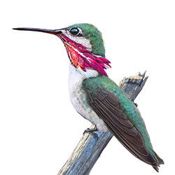 Calliope-Hummingbird-Body