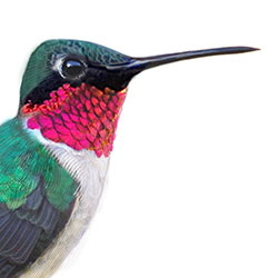 Ruby-throated Hummingbird Head Illustration