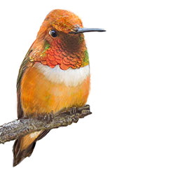 Rufous Hummingbird Body Illustration.jpg