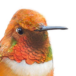 Rufous Hummingbird Head Illustration.jpg