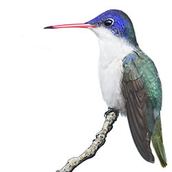 Violet-crowned Hummingbird Body Illustration