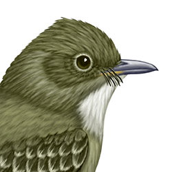 Western Wood-Pewee Head Illustration