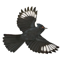 Phainopepla Flight Illustration.jpg