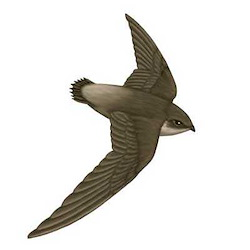 Vaux's Swift Flight Illustration